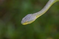 Close up Yellow-lipped Green Pit Viper snake Royalty Free Stock Image