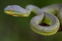 Close up Yellow-lipped Green Pit Viper snake Stock Photography