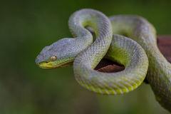 Close up Yellow-lipped Green Pit Viper snake Stock Photos
