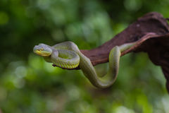 Close up Yellow-lipped Green Pit Viper snake Stock Images