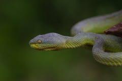 Close up Yellow-lipped Green Pit Viper snake Stock Photography
