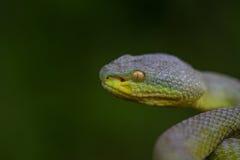 Close up Yellow-lipped Green Pit Viper snake Stock Photo