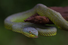 Close up Yellow-lipped Green Pit Viper snake Royalty Free Stock Photography