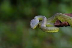 Close up Yellow-lipped Green Pit Viper snake Royalty Free Stock Photo