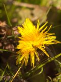 Close up of yellow long petaled dandelion on the ground bright Royalty Free Stock Photography