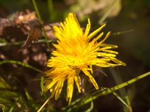 Close up of yellow long petaled dandelion on the ground bright stock photos
