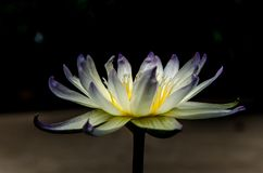 Close up yellow lotus blossom in dark background Royalty Free Stock Images