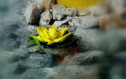 Close-up of Yellow Lotus in Water Stock Photography