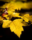 Close-up of Yellow Maple Leaf Stock Images