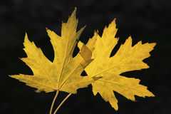 Close up of yellow maple leaves Royalty Free Stock Photography