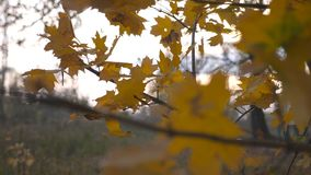 Close up of yellow maple leaves on tree branches gently swaying in the wind at sunset. Lush autumn foliage swinging on. The breeze at forest. Beautiful colorful stock video footage