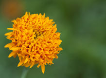 Close up yellow marigold Royalty Free Stock Images