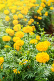 Close up Yellow Marigold Flower. Royalty Free Stock Photos