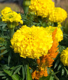Close up yellow marigold in garden Royalty Free Stock Image