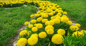 The yellow marigolds Royalty Free Stock Photos