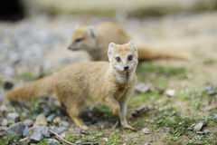 Close-up of a yellow mongoose Stock Image