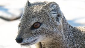 Close-up of yellow mongoose. The yellow mongoose Cynictis penicillata, sometimes referred to as the red meerkat, is a member of the mongoose family Royalty Free Stock Image