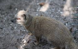 Yellow mongoose, Cynictis penicillata Stock Photo