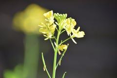 Close up of mustard plant. stock photos
