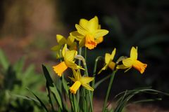 Close-up of yellow narcissus flower in the spring garden. Macro photography of nature stock images