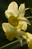 Close up of yellow narcissus flowers Royalty Free Stock Image