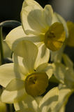 Close up of yellow narcissus flowers Royalty Free Stock Photos