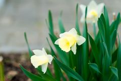 Close-up yellow narcissus flowers on a green flowerbed royalty free stock images