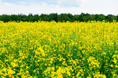 Close-up on yellow oilseed rape field Stock Photography