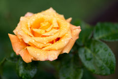 Close up on yellow/orange rose in garden with dew drops. Green in background with leaves Royalty Free Stock Photography