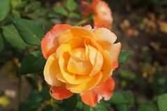 Close-up of a yellow-orange rose varieties Caucasian. Close-up of a yellow-orange inflorescences caucasian rose variety with wavy petals on a background of the Stock Photos