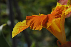 Close up of Yellow and Orange Speckled Canna Generalis Cleopatra Flower Stock Photography