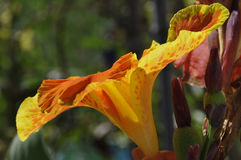 Close up of Yellow and Orange Speckled Canna Generalis Cleopatra Flower Royalty Free Stock Photography