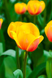 Close up yellow orange tulip Royalty Free Stock Photography