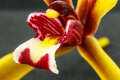 Close up yellow orchid Stock Image