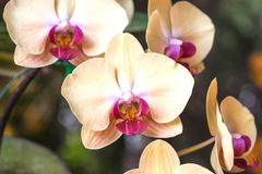 Close up of yellow orchid Royalty Free Stock Images