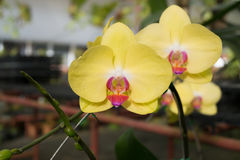 Close up yellow Phalaenopsis orchid flower Stock Images