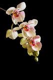 Close up of yellow phalaenopsis orchid flowers with pink lip. Isolated on black. Space for your text stock photo