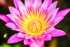 Close up of yellow-pink lotus flower. Stock Image