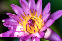 Close up of yellow-pink lotus flower. Royalty Free Stock Images