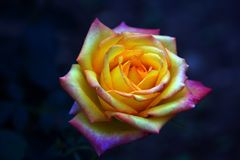 Close-up of yellow-pink Rose royalty free stock photography