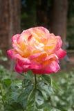 Close-up of a yellow and pink rose Stock Photos