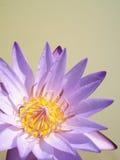 Close up of yellow-purple lotus flower Stock Image