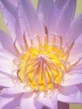 Close up of yellow-purple lotus flower Royalty Free Stock Image