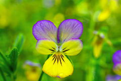 Close up of yellow and purple pansy flower in the springtime Stock Images