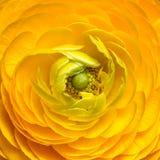 Close up of yellow ranunculus flower Royalty Free Stock Photos
