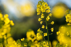 Close up of yellow blossoms meadow in sunlight Royalty Free Stock Photo