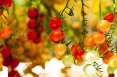 Close up yellow and red cherry tomatoes hang on trees growing in greenhouse in Israel. Large yellow and red cherry tomatoes hang on trees growing in greenhouses Royalty Free Stock Photos