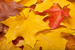 Close-up of yellow and red leaves background Royalty Free Stock Photography