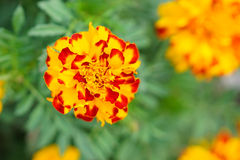 The close-up of Yellow-red Marigold Flower Royalty Free Stock Photography