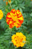 The close-up of Yellow-red Marigold Flower Stock Image